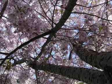plum_blossoms1