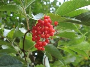 Frucht_1