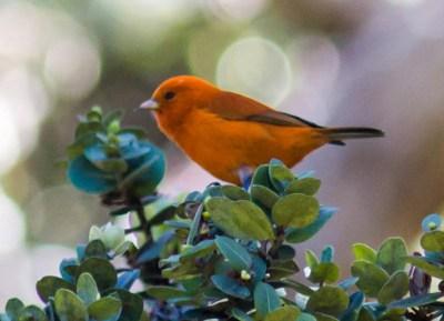 A Hawai'i 'akepa, a small orange bird, sitting on a treetop.