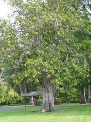 329 Southern Magnolia