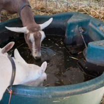 Heat and Goats