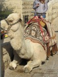 Camel on the Mount of Olives