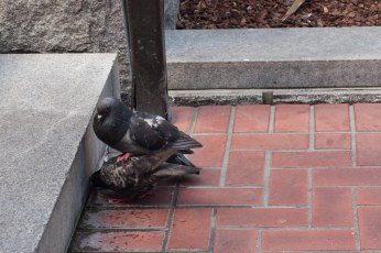 Symbolism: a pigeon trying to mount a pigeon #ratchet #downtown #gettingup