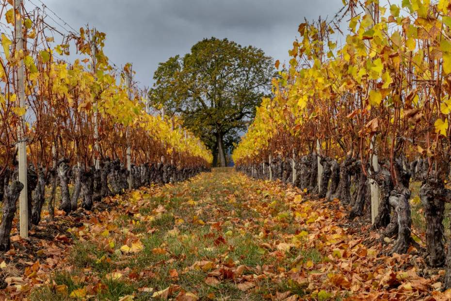 photo of vineyards in autumn; Photo by Oleg Demakov on Unsplash