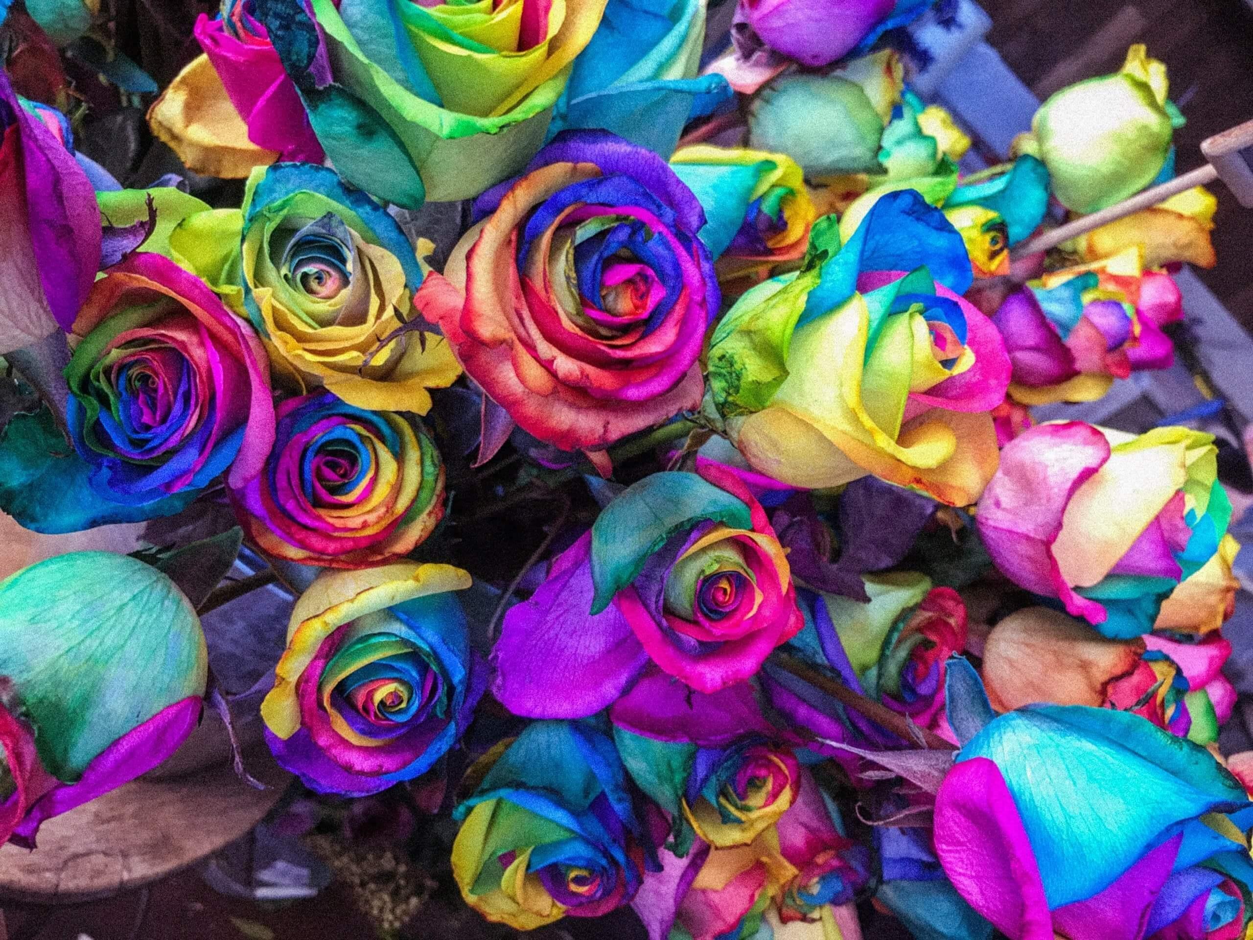 rainbow roses pride courage love