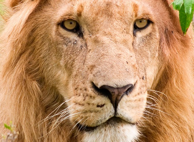 Leeuw-africa-close-up