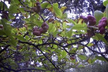Magnolie - Samen