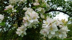 Blüte Apfel