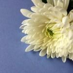 喪中 白い菊の花