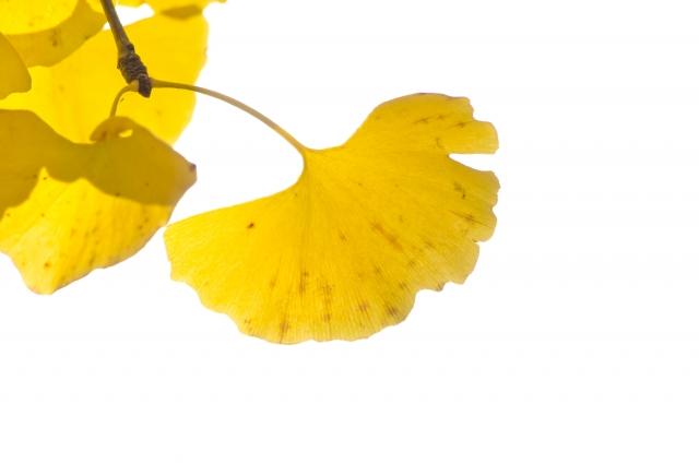 イチョウの葉、銀杏
