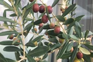 ベランダ菜園-オリーブの実