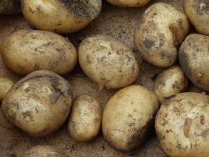 De aardappel oogst bij B&B de Bosakker