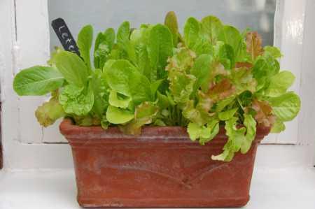 window-sill-salad-garden