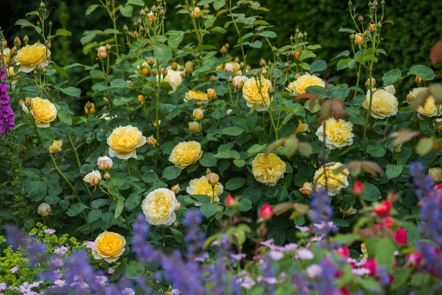 A Complete Guide To Planting Bare Root Roses Home Garden Nj