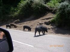 Wild black boar on mountain road in Corsica