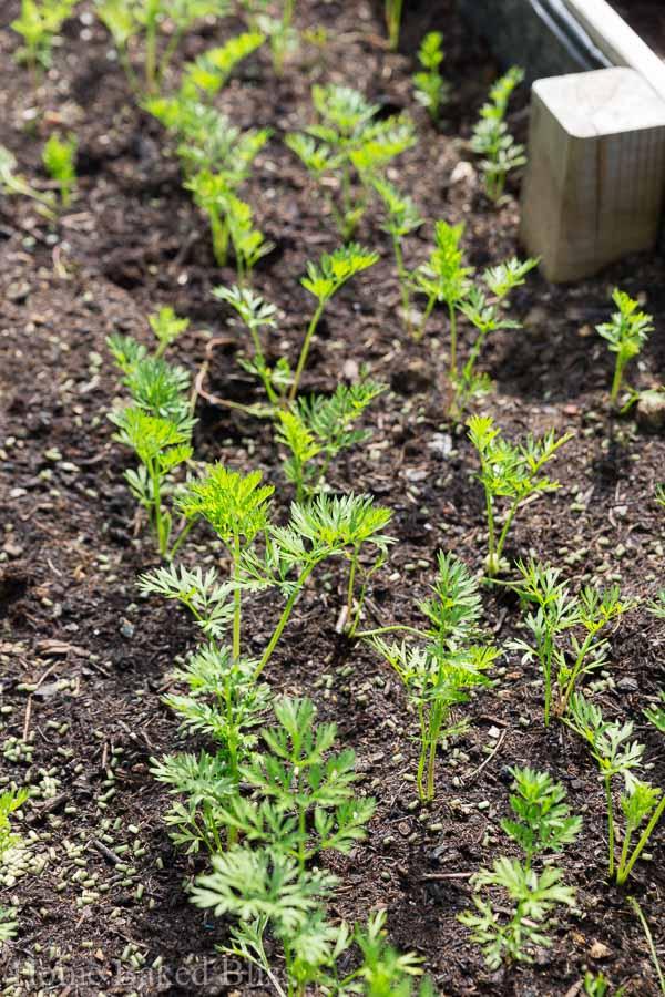 carrots, garden, growing carrots
