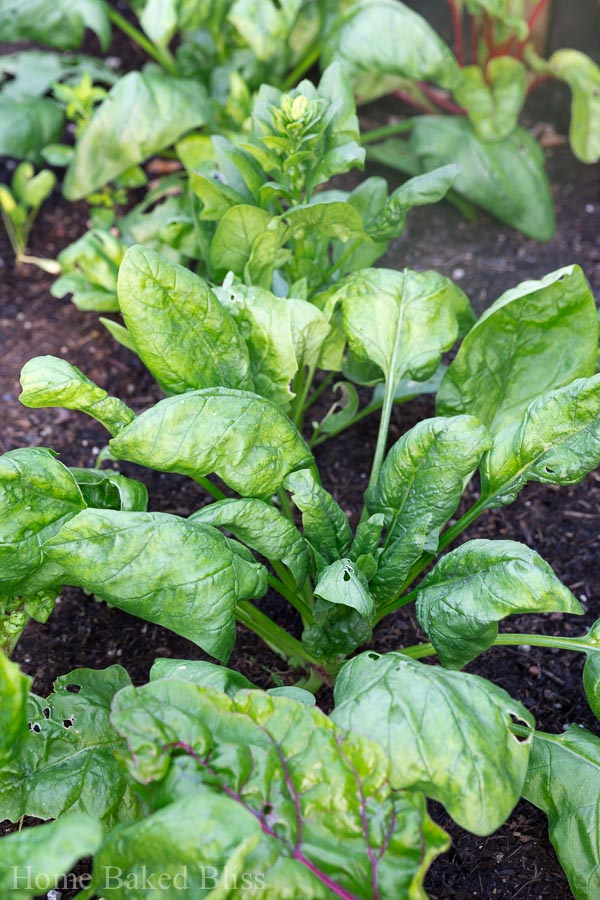 Gardening tips for June. How to grow vegetables, herbs and flowers.