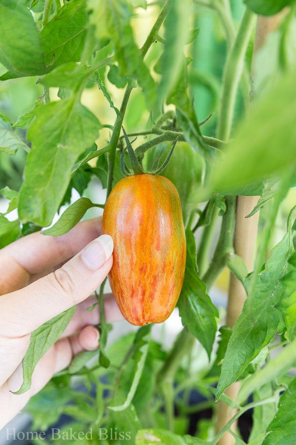 A ripe, multicolor tomato