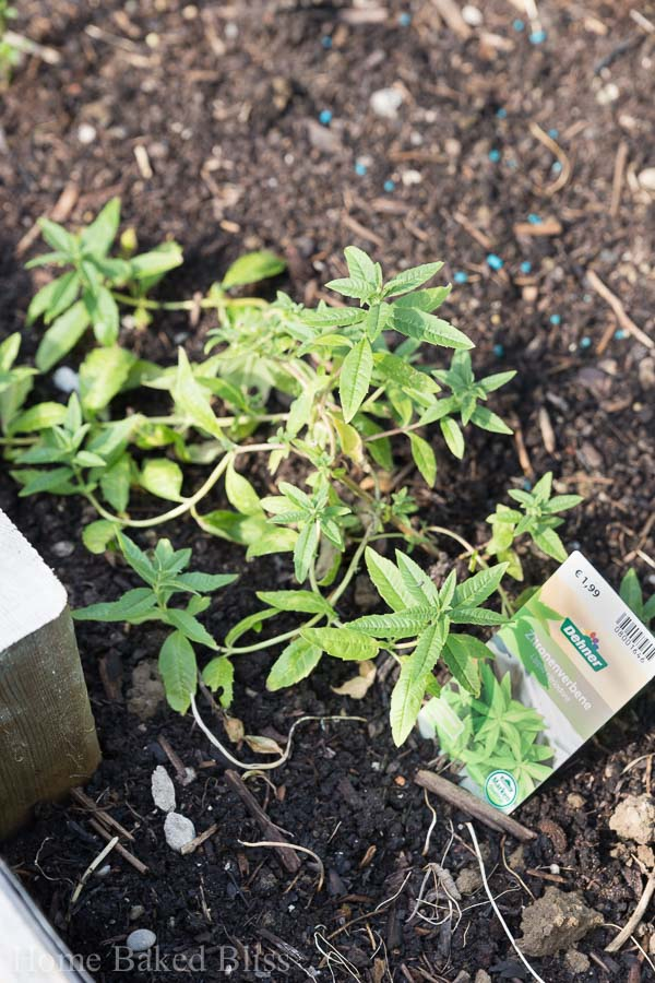 A bushel of lemon verbena growing