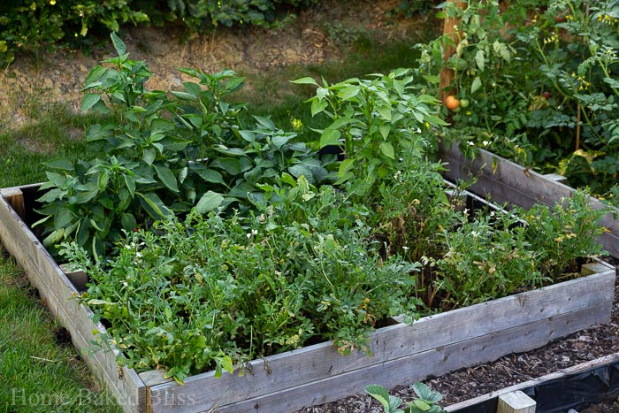 A vegetable bed filled with arugula and pepper plants