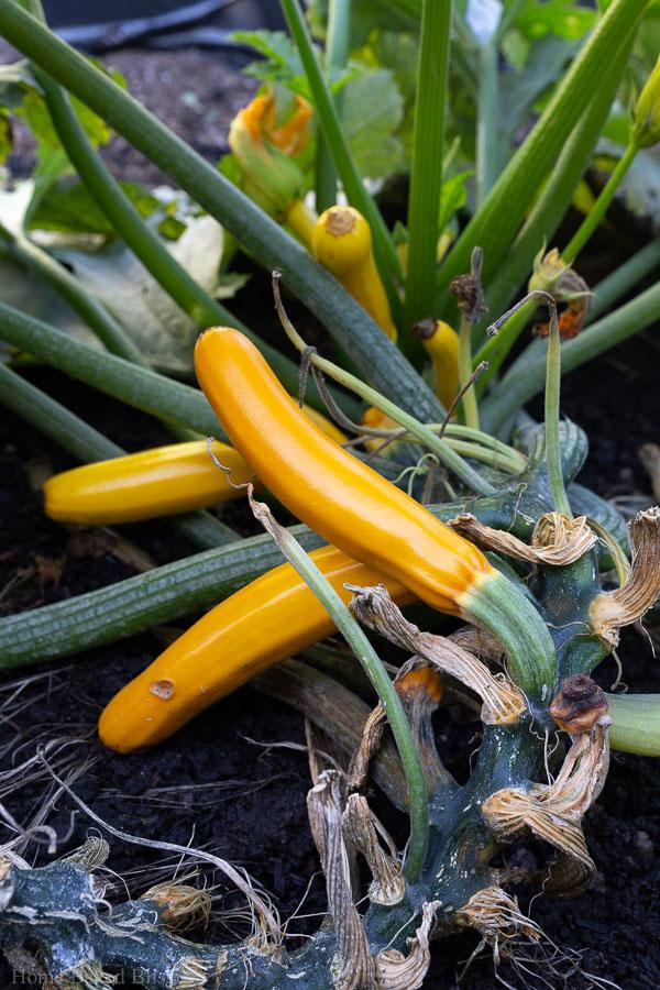 Yellow zucchinis on large zucchini plant