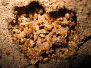termite control and how to prepare for it