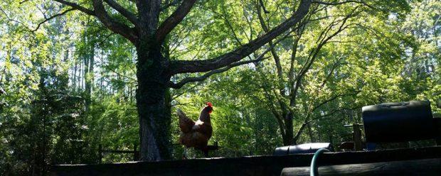 cropped-chicken-tree.jpg
