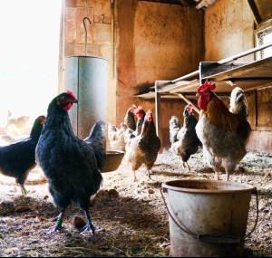 Chickens in hen house. Chicken behavior