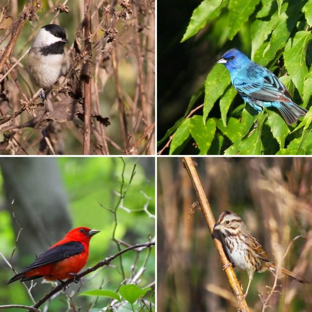 HomeDabbler birds in habitat