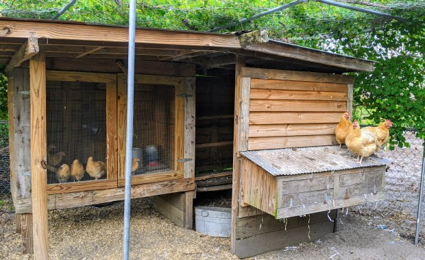 HomeDabbler | Chicken coop with adult chickens and baby chicks