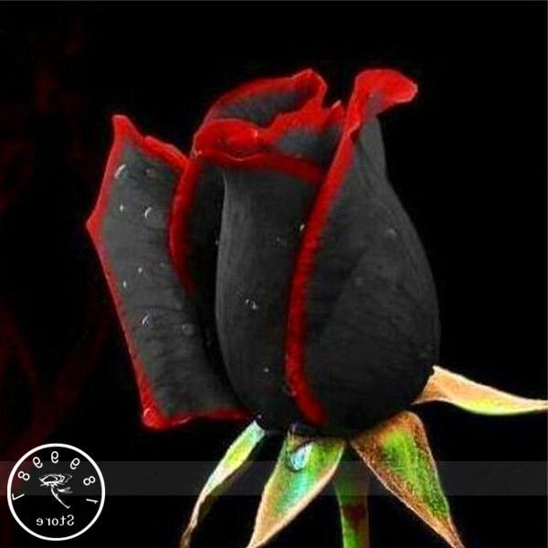 100 Pcs China Rare Black Rose Flowers Rare Amazingly