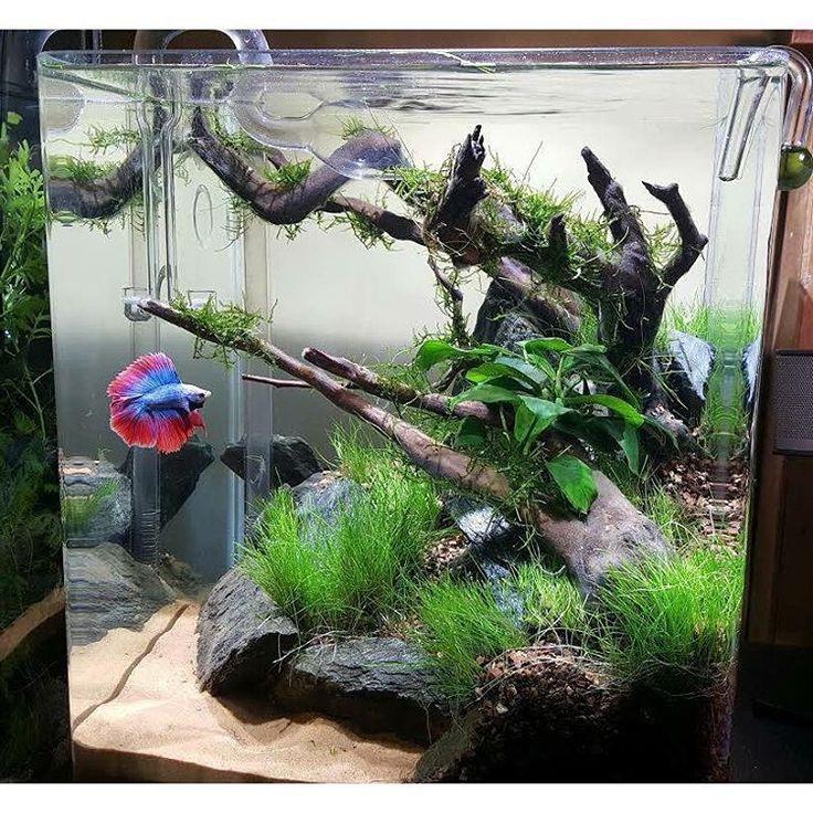 Aquascape With Driftwood And Rocks Betta Aquarium Betta