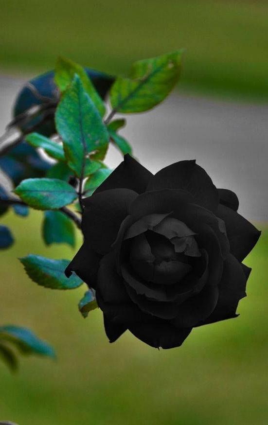 Black Rose Plants Flowers Growing Roses