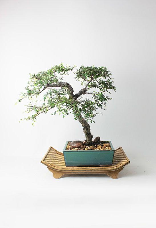 Catlin Elm Bonsai Tree Summer16 Elm Collection