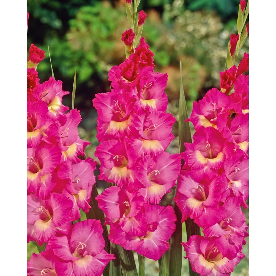 Garden State Bulb 10 Pack Windsong Gladiolus Bulbs At