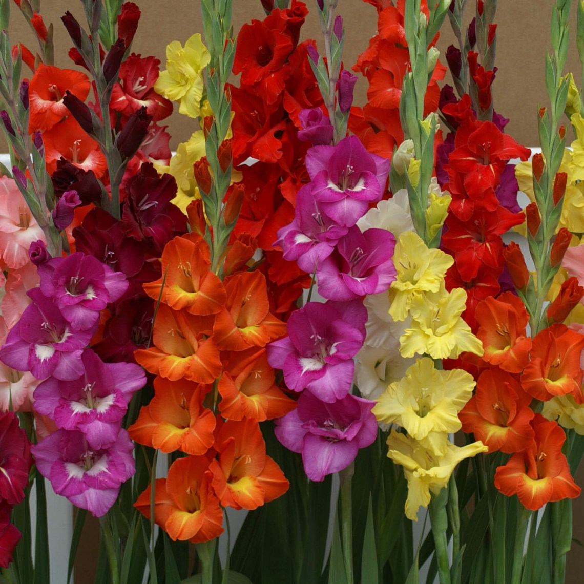 Gladiolus Hot Mix 24 Flower Bulbs Euroblooms