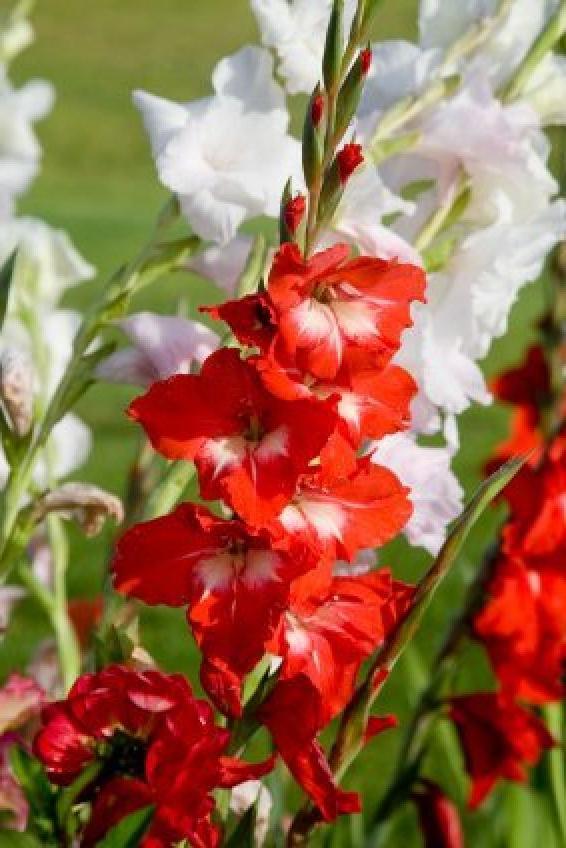 Growing Gladiolus Thriftyfun