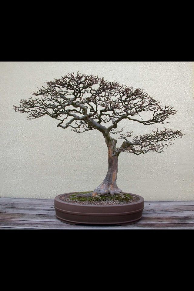 Trident Maple In Winter Bonsai Bonsai Tree Tree