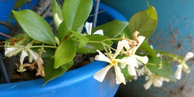 Growing Confederate Jasmine in Containers – A How-To Guide