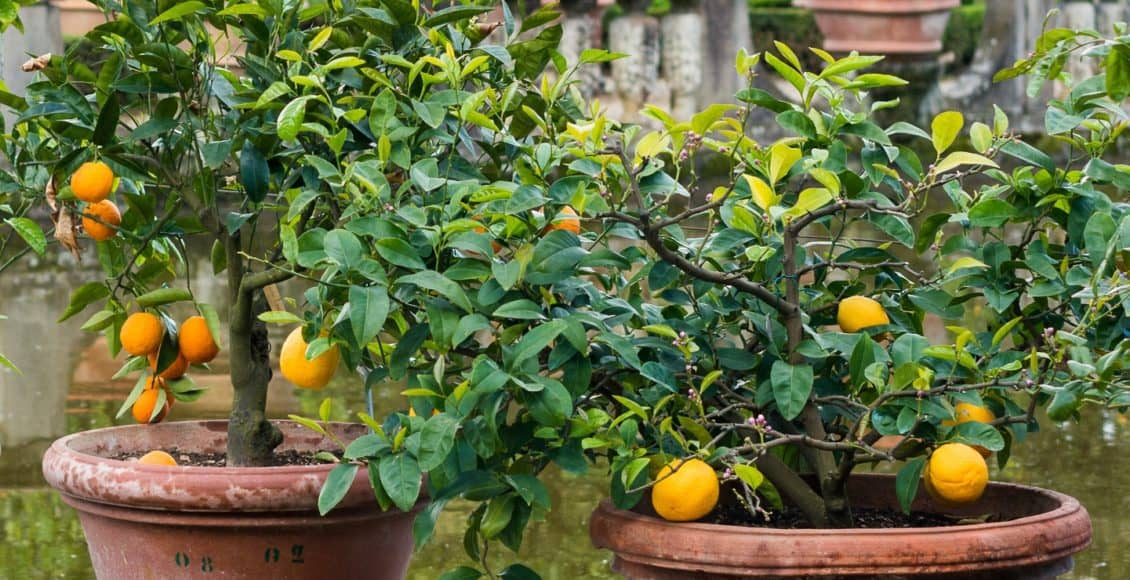 7 perfect patio fruit trees for small