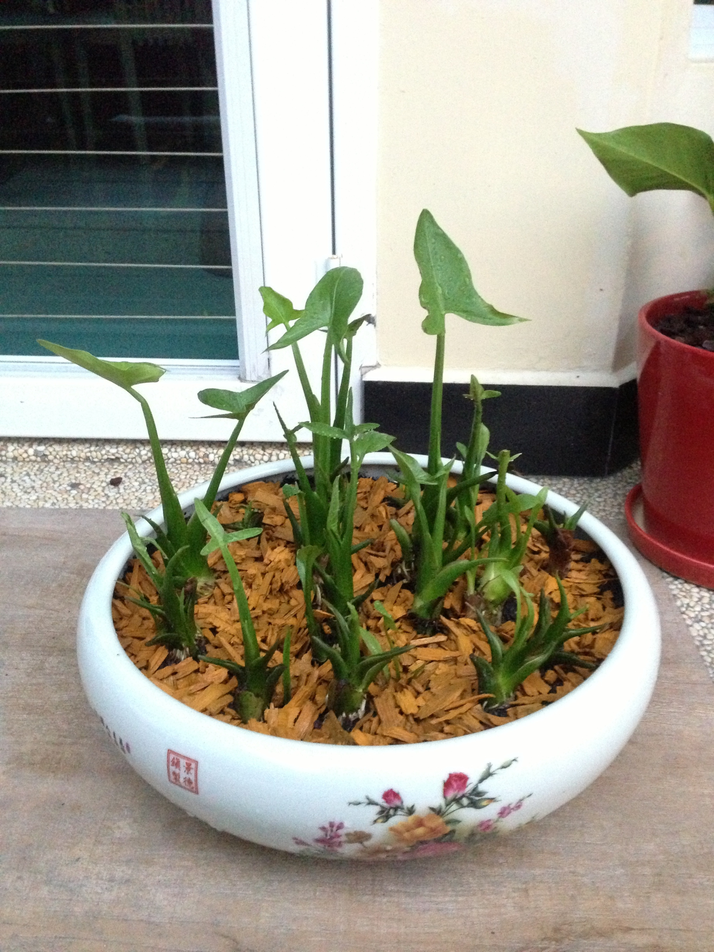 Best Kitchen Gallery: Chinese New Year Plants Gardening Is Fun of Arrowhead House Plant Names on rachelxblog.com
