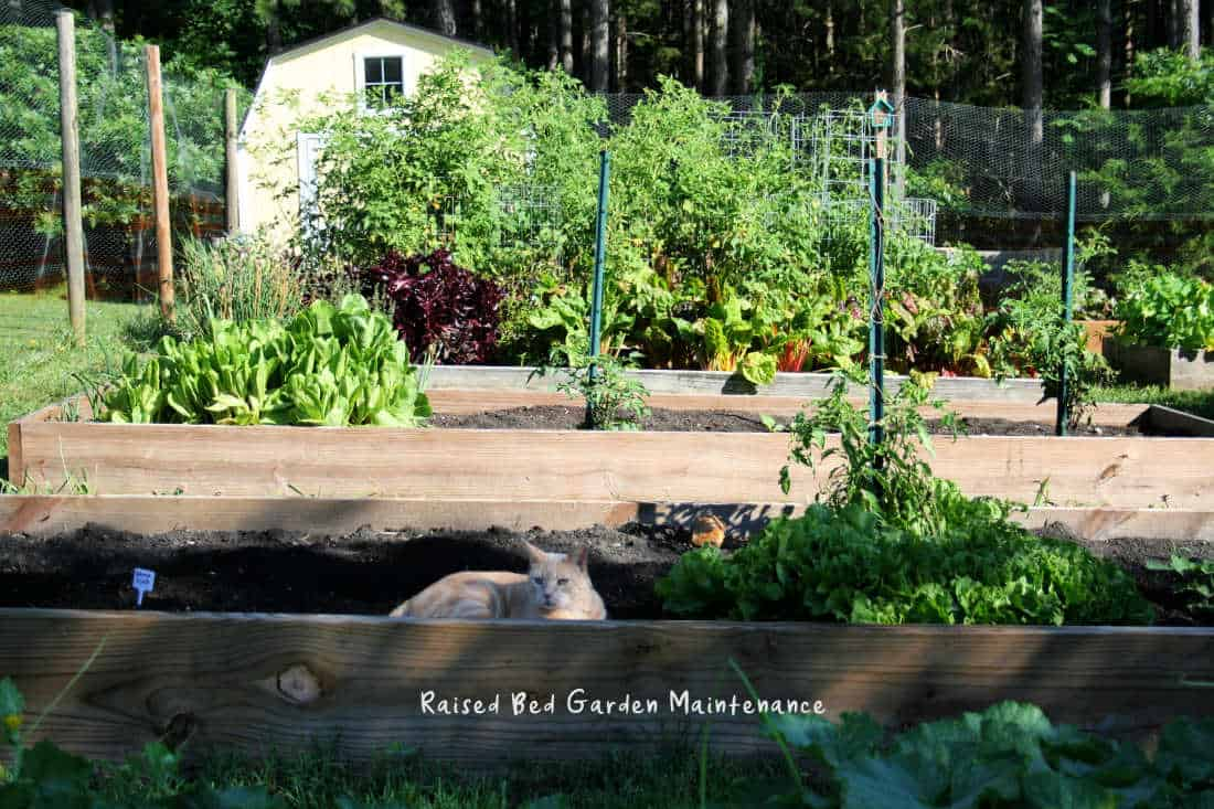 picture of a cat in a raised garden bed