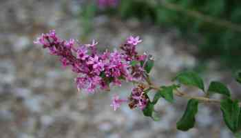 Bloomerang lilac and old fashioned lilacs home garden joy update on anns bloomerang lilac mightylinksfo