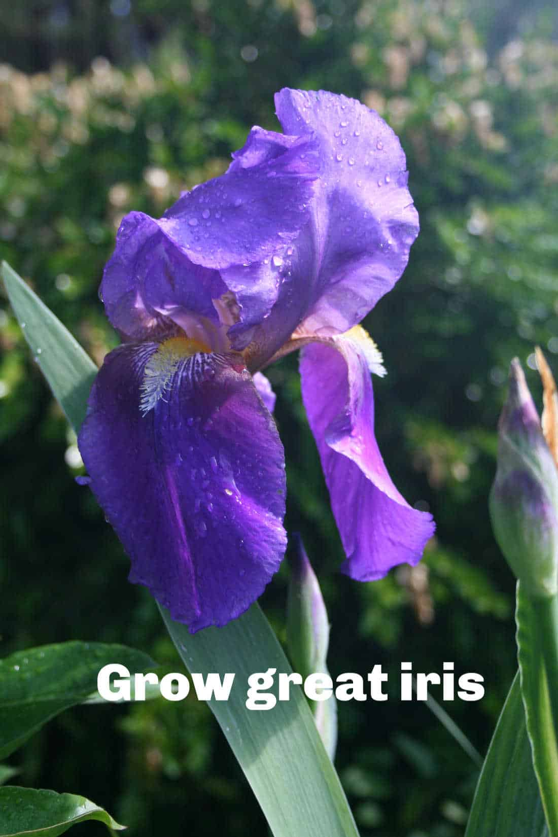 a picture of iris germanica