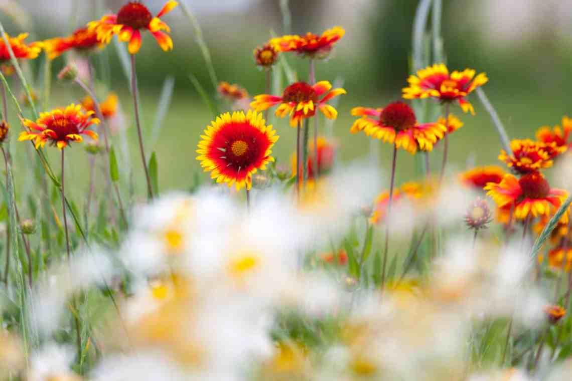 photo of growing gaillardia in the garden