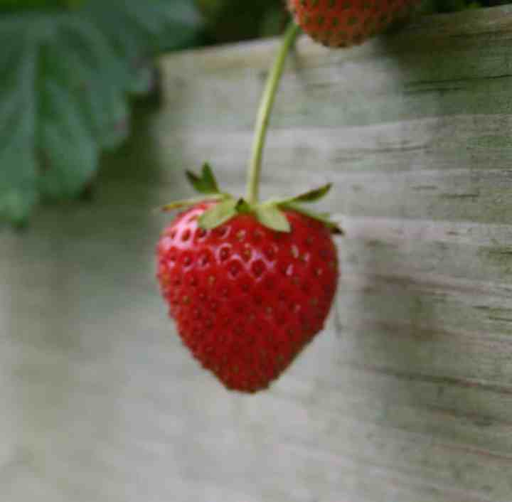 photo of a strawberry hanging over the edge of the bed