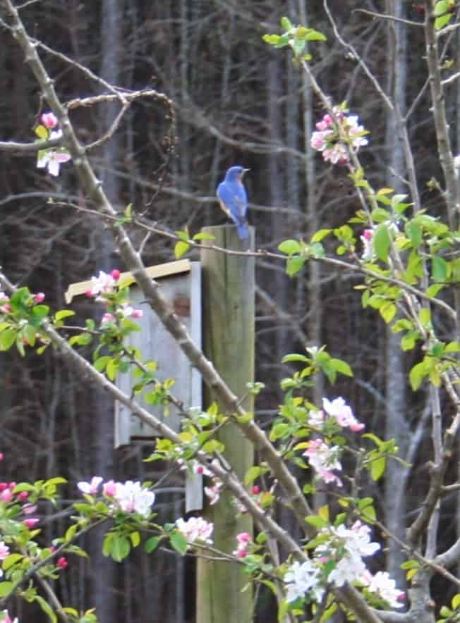 Bluebird-on-house