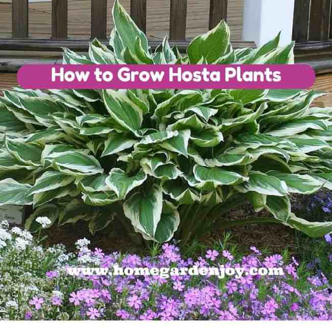 How to Grow Hosta Plants