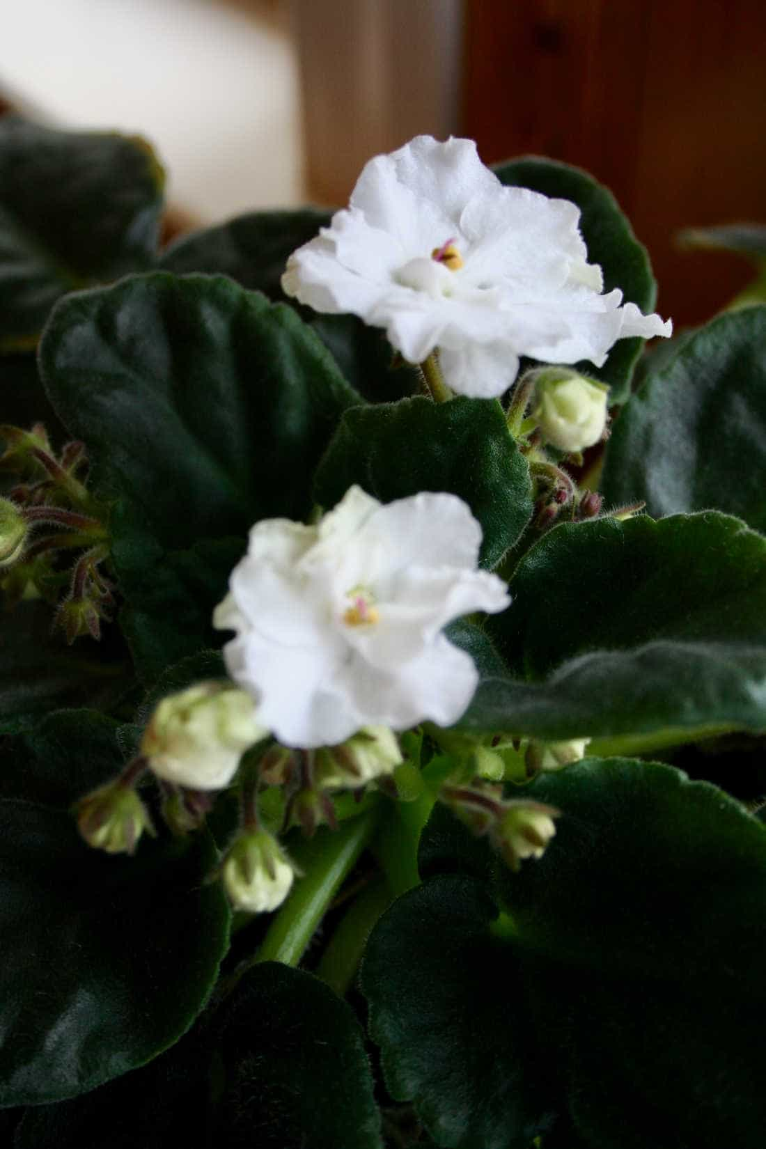 picture of a white African violet