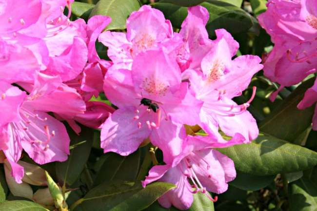 ground bee on rhododendron 2